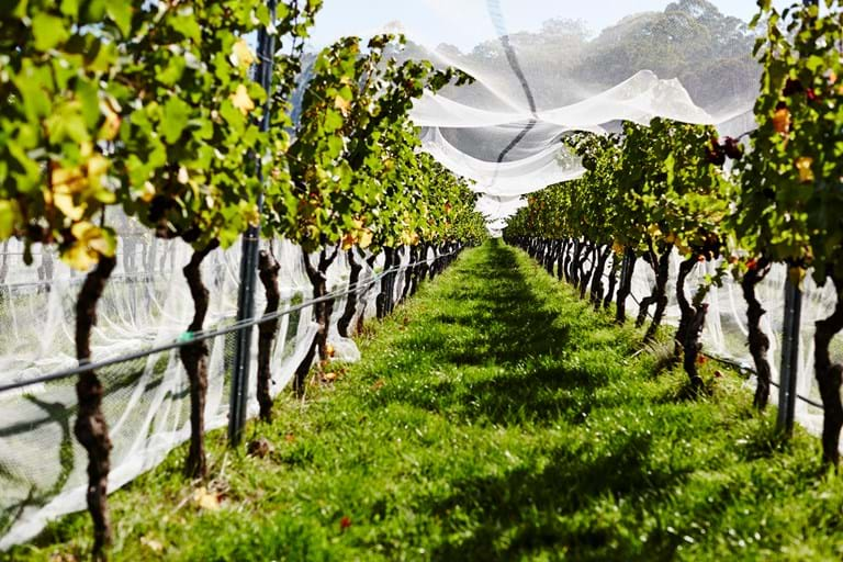 Pearing through the Vines at Hanging Rock Winery
